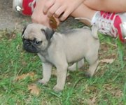 Bouncing and wesome pug puppies for re-homing