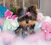 Teacup Yorkie Puppies For re Homing!!!