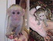 HOME TRAINED BABY FACE CAPUCHIN MONKEYS FOR ADOPTION
