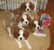 Healthy Adorable Cavalier King Charles Spaniel Puppies available