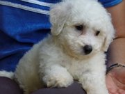 Bichion Frise Puppy