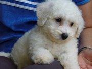 Bichion Frise Puppy