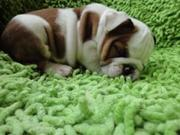 English buldog puppies ready foe neew home