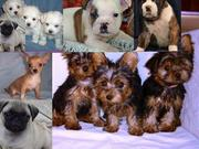 Teacup chihuahua, yorkie, maltese & pug, English Bulldog, boxer puppies
